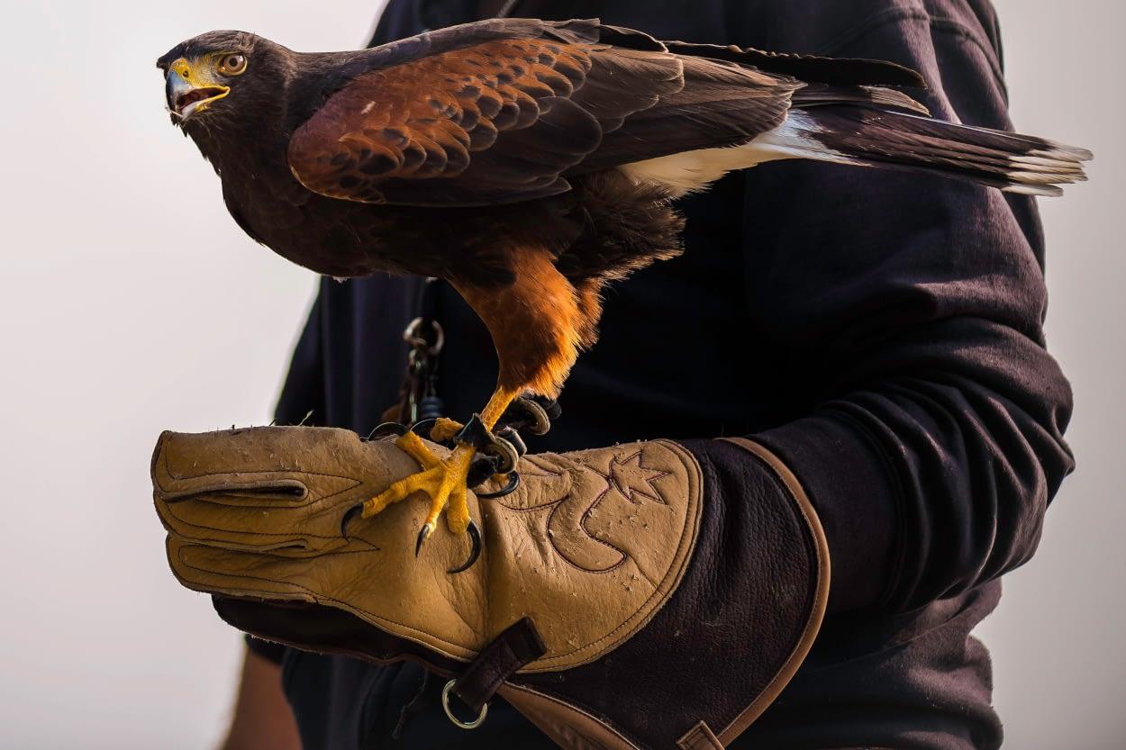 Falco al Castello di Vezio